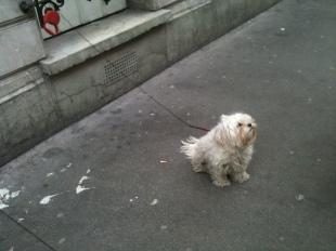 © Quartanier - chien en laisse Paris