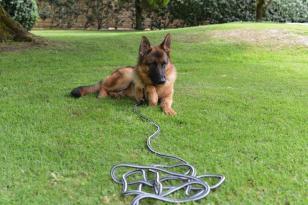 © Joce. / chien en laisse en herbe