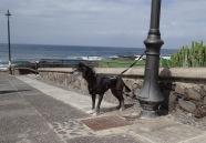 © JPS - Chien du Cap Hidalgo- Tenerife îles Canaries
